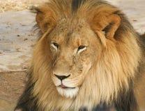 非洲狮子男性的画象 免版税库存照片