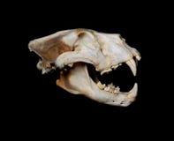 非洲狮子头骨(Pantera利奥) 免版税库存照片
