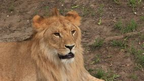 非洲狮子 股票录像