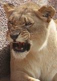 非洲狮子 免版税库存照片