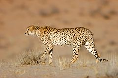 非洲猎豹沙漠南的kalahari 库存图片