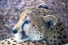 非洲猎豹 库存图片