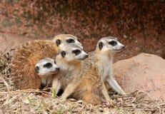 非洲猫鼬小组 库存照片
