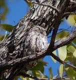 非洲猫头鹰scops 免版税图库摄影