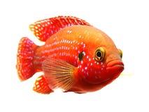 非洲珠宝鱼 免版税库存照片