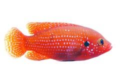 非洲珠宝鱼 库存图片