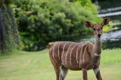 从非洲的一点kudu 免版税库存照片