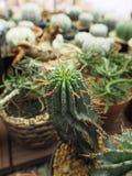 从非洲的大戟属horrida罕见的植物 免版税库存照片