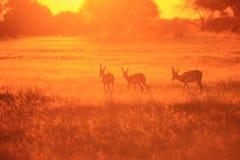 从非洲的跳羚日落金的野生生物背景-自然颜色 免版税库存图片
