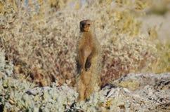 非洲的野生动物:常设猫鼬 库存照片