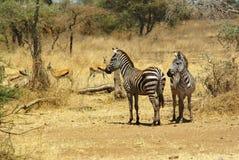 非洲的野生动物:斑马 免版税图库摄影