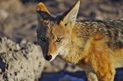 非洲的野生动物:狐狼 免版税图库摄影