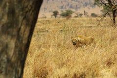 非洲的野生动物:狮子 库存照片