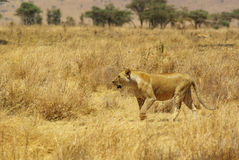非洲的野生动物:狮子 库存图片