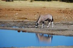 非洲的野生动物:瞪羚 免版税库存图片