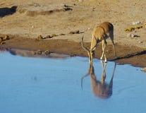 非洲的野生动物:瞪羚 免版税图库摄影