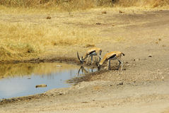 非洲的野生动物:瞪羚 免版税库存照片