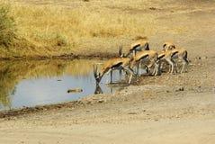 非洲的野生动物:瞪羚 库存图片