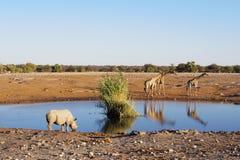 非洲的野生动物:长颈鹿 库存图片