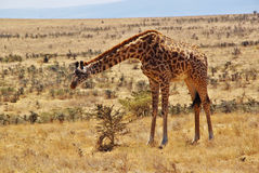 非洲的野生动物:长颈鹿 库存照片