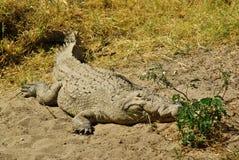 非洲的野生动物:鳄鱼 库存照片