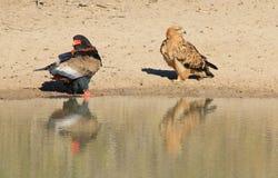 -从非洲的野生猛禽-看另一个方式的老鹰、Bateleur和黄褐色,转动另一个面颊 库存图片