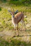 非洲瞪羚 免版税库存照片