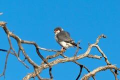 非洲矮小猎鹰在一棵死的树栖息 库存照片