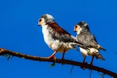 非洲矮小猎鹰 免版税图库摄影