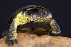 非洲矮小的泥乌龟(Pelusios nanus) 免版税库存图片