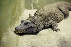 非洲矮小的鳄鱼 库存图片