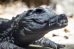 非洲矮小的鳄鱼 免版税库存图片