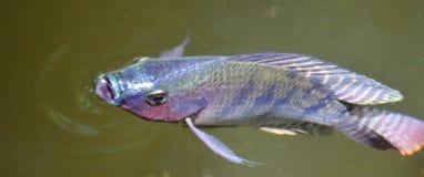 非洲种田了快速鱼淡水生长罗非鱼赞比亚 库存照片