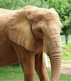 非洲红色大象 免版税库存照片