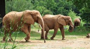 非洲红色大象 库存图片