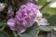非洲紫罗兰桃红色 库存照片