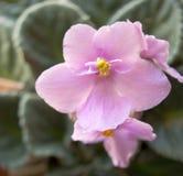 非洲紫罗兰花 图库摄影