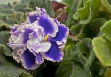 非洲紫罗兰花 免版税库存照片