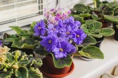 非洲紫罗兰,在窗口基石的非洲堇花 免版税库存图片