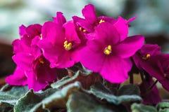 非洲紫罗兰(桃红色非洲堇ionantha)室内植物特写镜头 免版税库存照片