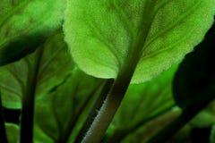 非洲紫罗兰细节 免版税库存照片