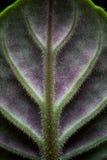 非洲紫罗兰细节 免版税图库摄影