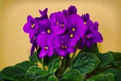 非洲紫罗兰 图库摄影