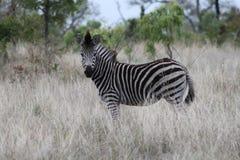 非洲美丽的斑马 免版税库存图片