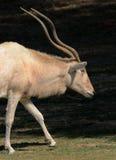 非洲羚羊 免版税库存照片