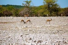 非洲羚羊springbock 库存图片