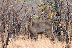 非洲羚羊waterbuck 库存图片