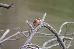 非洲翠鸟抓了一条鱼 免版税库存图片