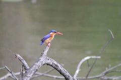 非洲翠鸟 库存图片