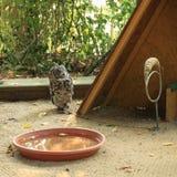非洲老鹰 免版税库存照片